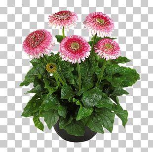 Daisy Family Cut Flowers Gerbera Jamesonii Plant PNG