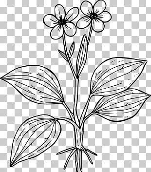 Ranunculus Glaberrimus Coloring Book Flower Worksheet Plant PNG