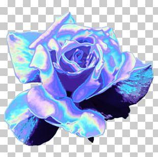 Blue Rose Garden Roses Rainbow Rose Cut Flowers PNG