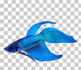 Siamese Fighting Fish Veiltail Aquarium Siamese Cat PNG