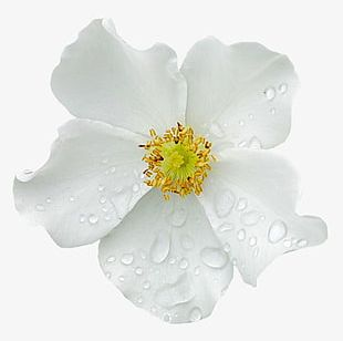 Water Drops On The White Flowers PNG