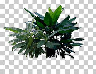 Musa Basjoo Banana Musa Ornata Plant PNG