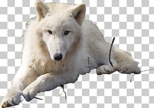 Dog Arctic Wolf Puppy Arctic Fox PNG
