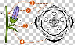 Floral Diagram Floral Formula Flower Plant Reproduction PNG