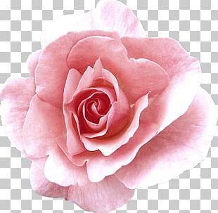 Garden Roses Cabbage Rose China Rose Damask Rose Floribunda PNG