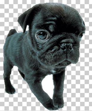 Pug Toy Bulldog Puppy Dog Breed Companion Dog PNG