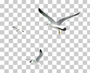 Gulls Bird PNG