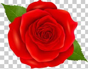 Garden Roses Floribunda Cabbage Rose China Rose Blue Rose PNG