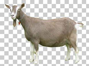 Toggenburg Goat Nigerian Dwarf Goat Oberhasli Goat Pygmy Goat Cattle PNG