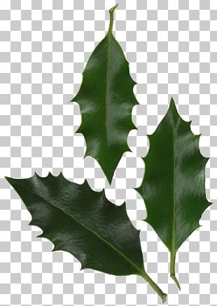 Leaf Common Holly Plant Tree Information PNG
