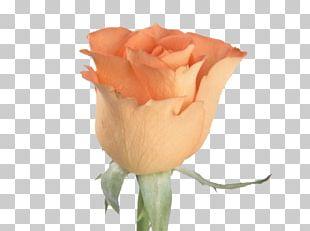 Flower Rose Orange Bud Seed PNG