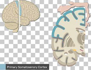 Somatic Nervous System Anatomy Sensory Nervous System Central Nervous System PNG