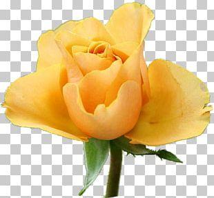 Garden Roses Floribunda Rose Garden Yellow PNG