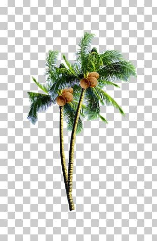 Coconut Candy Arecaceae Tree PNG