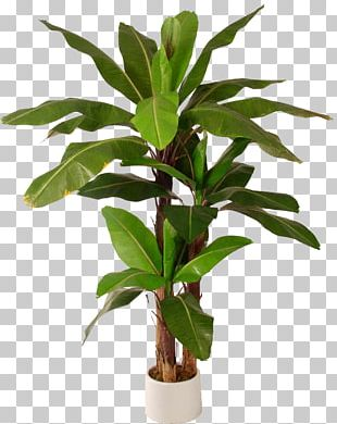 Leaf Banana Tree Herbaceous Plant PNG