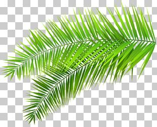 Arecaceae Palm Branch Leaf PNG