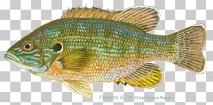 Tilapia Northern Red Snapper Perch Freshwater Aquarium Marine Biology PNG