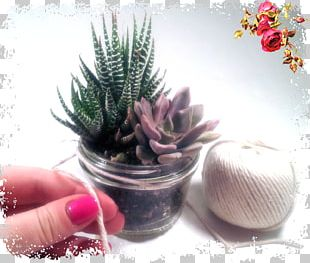 Sugar Motta Cactaceae Flowerpot Star Vanessa Lengies PNG
