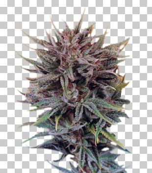 Cannabis Skunk White Widow Seed Marijuana PNG