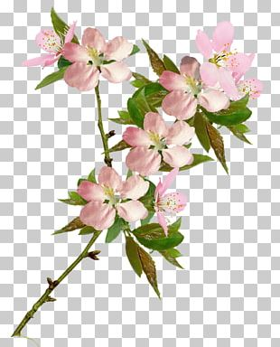 Portable Network Graphics Cherry Blossom Flower PNG