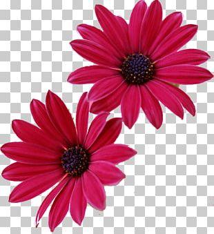 Pink Flowers Gerbera Jamesonii Desktop PNG