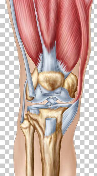 Knee Pain Human Anatomy Patella PNG