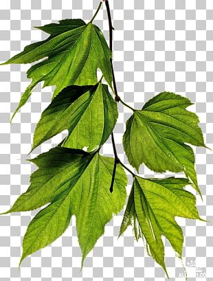 Twig Leaf White Mulberry PNG