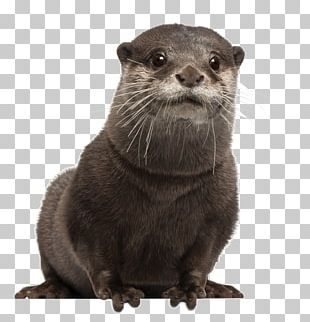 Asian Small-clawed Otter Eurasian Otter Sea Otter Stock Photography PNG