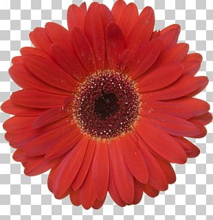 Transvaal Daisy Stock Photography Red PNG