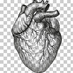 Heart Anatomy & Physiology II Organ Drawing PNG