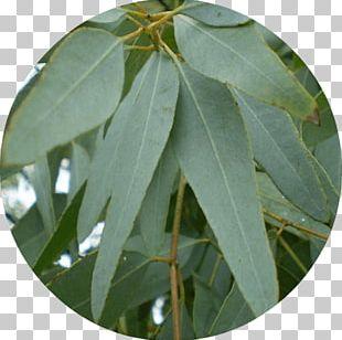 Cymbopogon Citratus Eucalyptus Staigeriana Gum Trees Eucalyptus Oil Lemon Myrtle PNG
