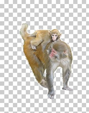 Macaque Ape Monkey PNG