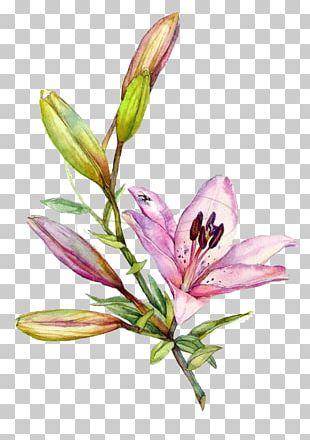 Lilium Watercolor Painting Drawing Illustration PNG