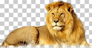 Lion African Wildcat Leopard Big Cat PNG