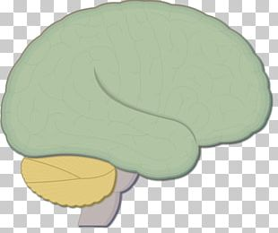 Brainstem Human Brain Nervous System Medulla Oblongata PNG