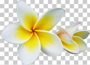 Champak Plumeria Rubra Flower PNG