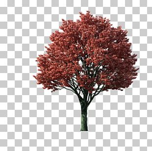 Japanese Maple Acer Japonicum Tree PNG