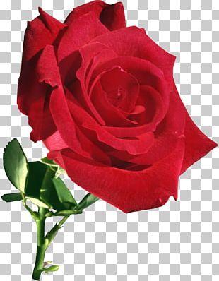Garden Roses Flower Rose Garden PNG