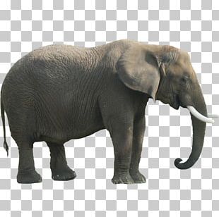Indian Elephant African Forest Elephant PNG