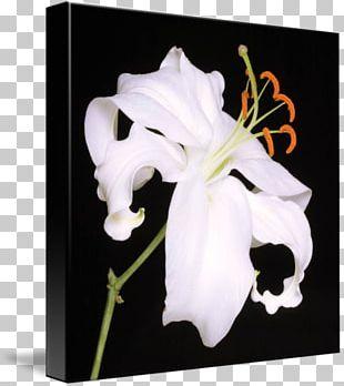 Lilium Lily 'Stargazer' Floral Design Art Flower PNG