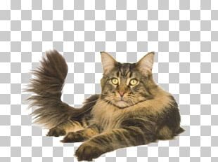 Maine Coon Norwegian Forest Cat Asian Semi-longhair Whiskers Domestic Long-haired Cat PNG