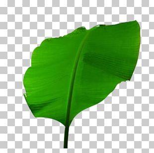 Musa Basjoo Banana Leaf PNG