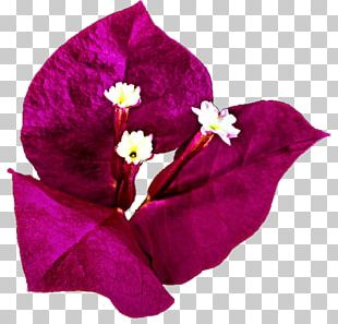 Bougainvillea Bougainville Island Drawing PNG