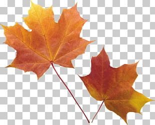 Red Maple Autumn Leaf Color Maple Leaf PNG