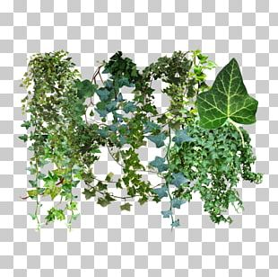 Common Ivy Hedera Canariensis Dragon Tree Plant Vine PNG