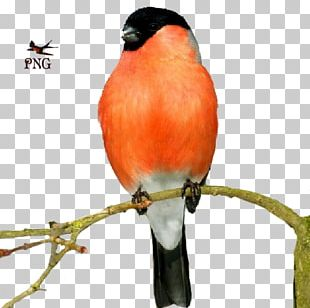 Finches Bird Atlantic Canary Animal PNG