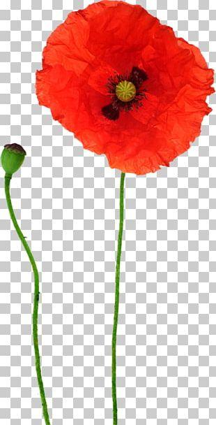 Opium Poppy Flower Red PNG