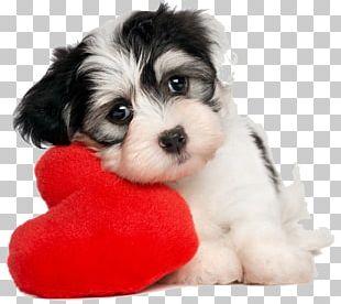 Puppy Havanese Dog Valentine's Day Pet What Dog? PNG