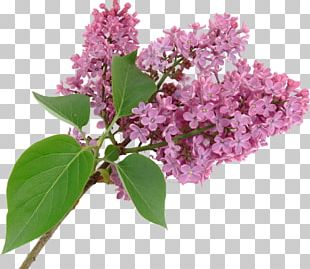 Lilac Syzygium Aromaticum Purple Flower PNG