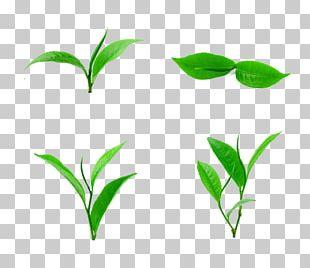 Tea Leaf PNG